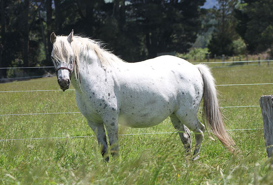 Spotted pony mare