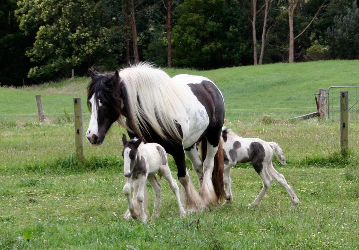 Twin foals with their dam. Amazing rare Gypsy Cob twin foals