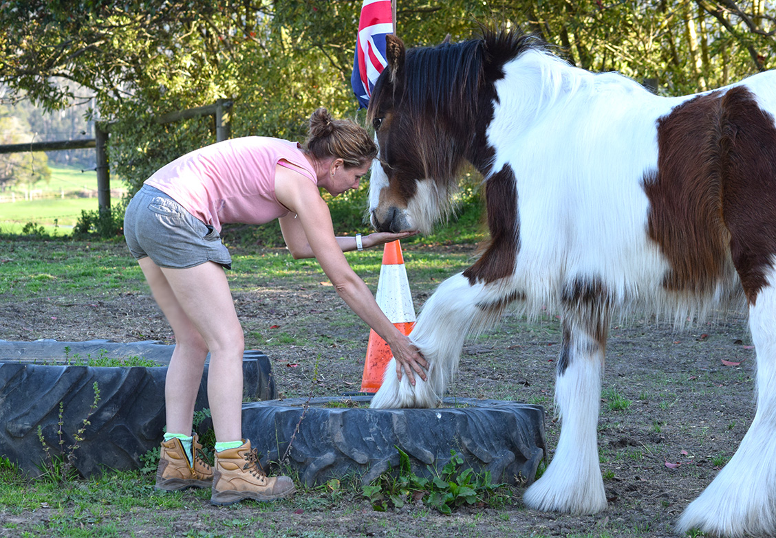 Bay and white gypsy cob gelding sales preparation Australia